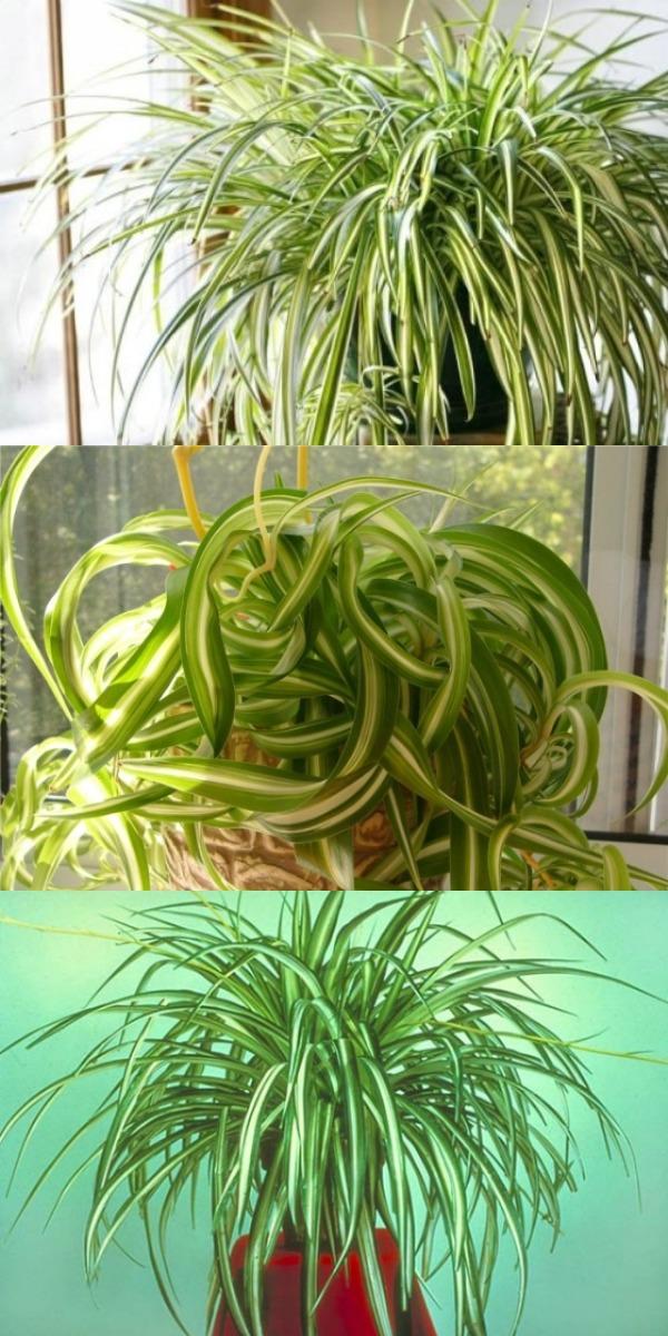 Хлорофитум растение с поистине удивительными свойствами… Буквально творит чудеса!