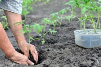 Соседи смеялись над моим способом посадки помидоров. А я собрала урожая в 2 раза больше ихнего 1