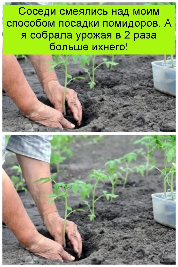 Соседи смеялись над моим способом посадки помидоров. А я собрала урожая в 2 раза больше ихнего 4