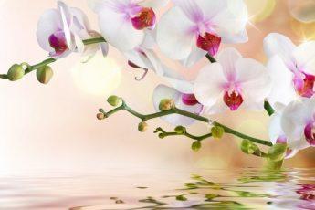 Как достичь максимального цветения орхидей: советы Алексея Горобея. В моем доме на каждом подоконнике 1