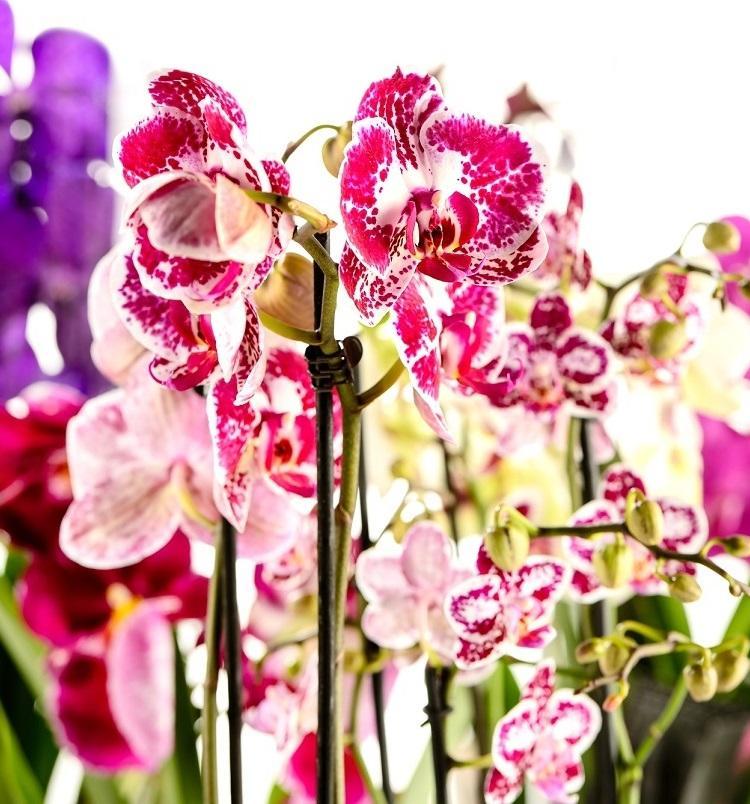 Как достичь максимального цветения орхидей: советы Алексея Горобея. В моем доме на каждом подоконнике 6